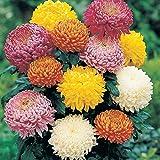 100pcs Regenbogen Chrysantheme Samen Bonsai Blumensamen Topfpflanze Staude Blumen für zu Hause Garten Burgund