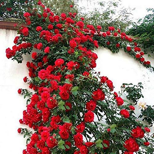 TOYHEART 100 Piezas De Semillas De Flores Premium, Semillas De Rosas Trepadoras, Cultivos De Colores Brillantes De Crecimiento Rápido, Semillas De Plantas De Jardín para Jardín Rojo Semillas de Rosas
