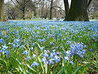 Best giant squill bulb Reviews