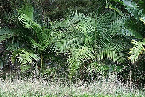 SANHOC Samen-Paket: Palm -dypsis baronii- 10 SeedsSEED