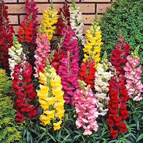 plants deer don't like Tetra Snapdragon Seed Mix- 2000 Premium Heirloom Seeds- Beautiful Bright and adds Color to Your Home Garden! - Antirrhinum majus - (Isla's Garden Seeds) - Highest Quality