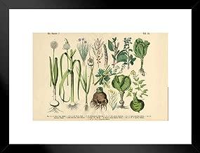 botanical illustration vegetables