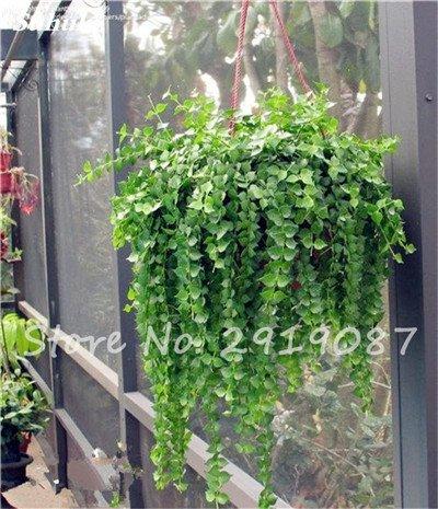 Pearl Chlorophytum Seeds 100 Pcs Hanging type de pot Chlorophytum fleurs fraîches Plantes de l'air intérieur jardin résistant au froid 3