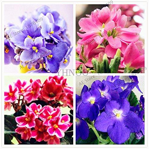 50pcs/sac couleur mélangée Violet Garden Seeds Plantes Violet Fleurs vivaces herbes Matthiola Incana semences pour la maison et le jardin