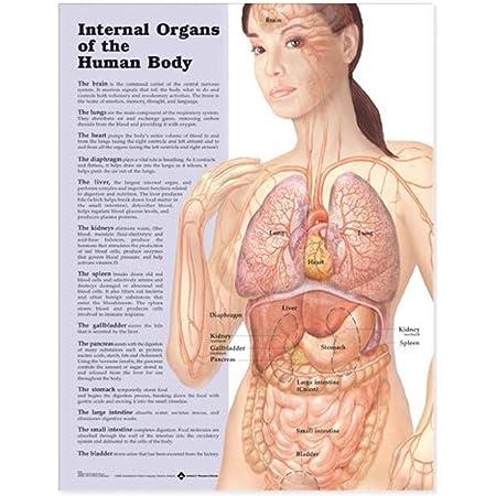 órganos Internos Del Cuerpo Humano Gráfico Anatómico Anatomical Chart Company Industrial Scientific