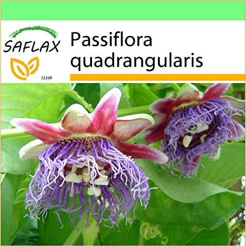 SAFLAX - Garden to Go - Riesengranadilla/Königsgranadilla - 12 Samen - Mit Tontopf, Untersetzer, Anzuchtsubstrat und Dünger - Passiflora quadrangularis