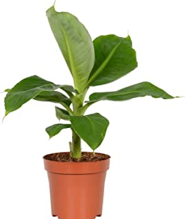 Best dwarf banana plant Reviews