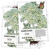 Seed Needs, Bishop's Flower (Ammi majus) Twin Pack of 800 Seeds Each