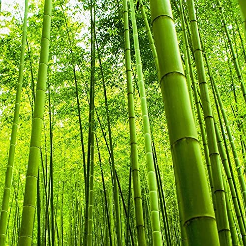 200+ Bamboo Seeds Fast Growing Trees for Privacy Plant Seeds for Outdoor