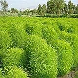 Keshang hohe viele gelbe Blüten,Rotblättrig grün sanfte Sonnenblumenkerne-grün_2000PCS,Bestellen...
