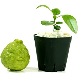 leaves are highly aromatic\u201d Citrus Hystrix-makrut,or magrood Great In Containers KAFFIR LIME Plant SEEDS
