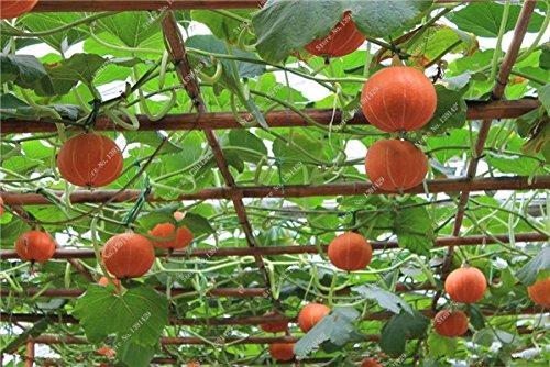 Graines de citrouille rares Cucurbita fil d'or de citrouille non-OGM légumes jardin Bonsai plantes ornementales semences Escalade 10 Pcs/sac 22