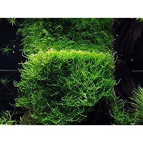 Tropica Javamoos Moos Taxiphyllum barbieri