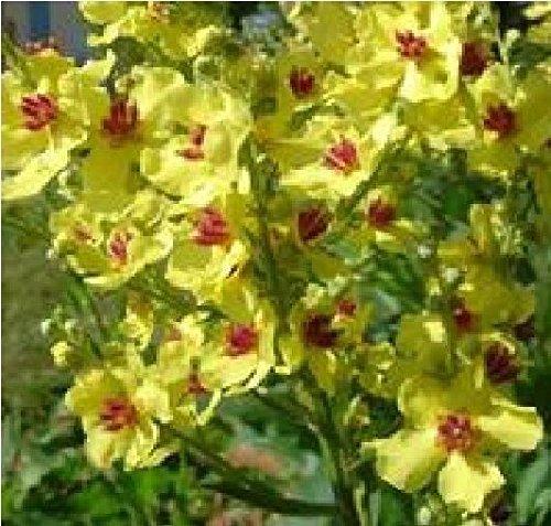 Il vous suffit de graines de fleurs???Mol?ne Chaixii Jaune???500?graines???Gros Lot