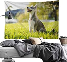 MaureenAustin Cool Tapestries,Alaskan Malamute,Klee Kai Puppy Sitting on Grass Looking Up Friendly Young Cute Animal, Multicolor Tapestries for Home Dorm Decoration70 x90
