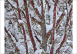 Media Storehouse A2 Poster of USA, Washington State, Seabeck. Snow-Covered Coral bark Japanese Maple Tree (19319978)