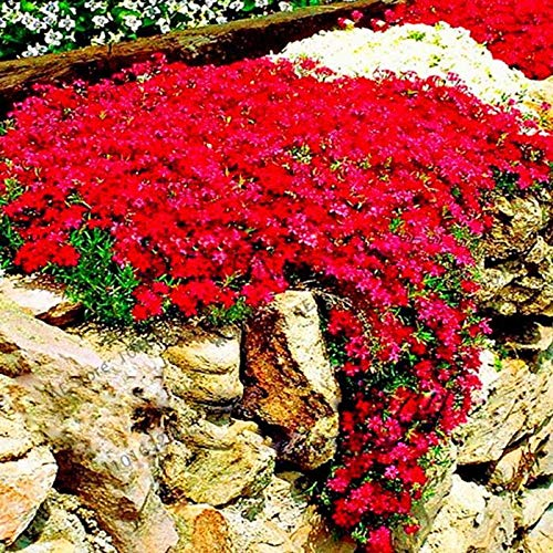 Soteer Garten - Schleichende Thymian Bodendecker Samen duftende Kräuter Staudenblumen Steinkraut Samen Blumensamen winterhart mehrjährig (100 Stück, Rot)