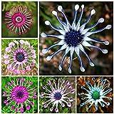 Semillas de Flores-50Pcs / Set Osteospermum Seeds Rare Warm Prefiere las plántulas de Osteospermum vibrantes intolerantes al frío para jardín - Semilla