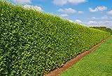 Heckenpflanze - Thuja occidentalis Brabant -...