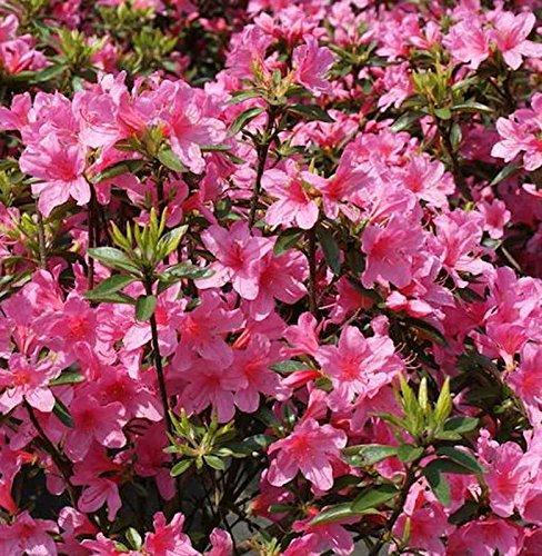 Japanische Azalee Madame Albert v. Hecke 25-30cm - Rhododendron obtusum - Zwerg Alpenrose