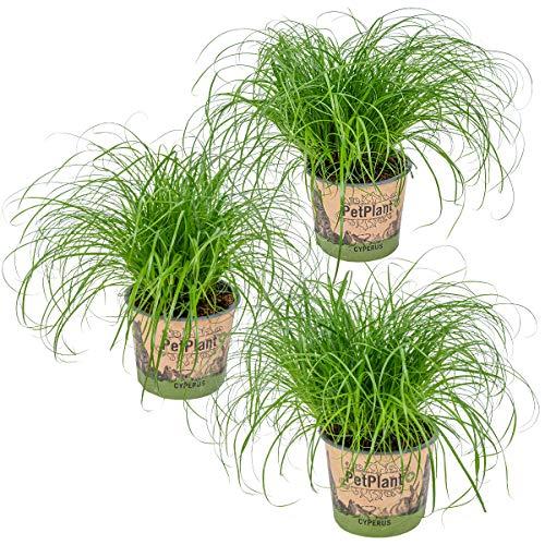 Herbe à chat - Cyperus alternifolius 'Zumula' lot de 3 | PetFriendly - Plante d'intérieur ⌀12 cm - 20-25 cm