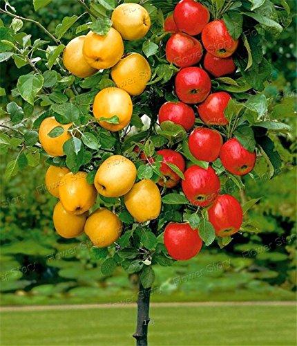 bonsái enano del manzano 20 semillas coger fruta deliciosa en su patio trasero Fácil -growing Bonsai fruta