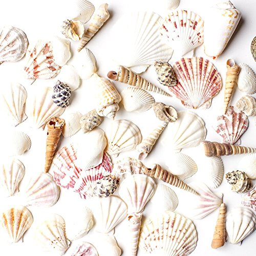 Sea Shells Mixed Beach Seashells - Various Sizes up to 2' Shells -Bag of Approx. 50 Seashells