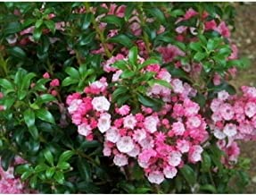 Best kalmia latifolia little linda Reviews