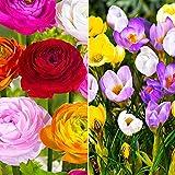 100x Blumenzwiebeln Mix 'Multi' | Krokusse und Ranunkeln | Frühjahrsblüher Zwiebeln | Blumenzwiebeln Mehrjährig Winterhart