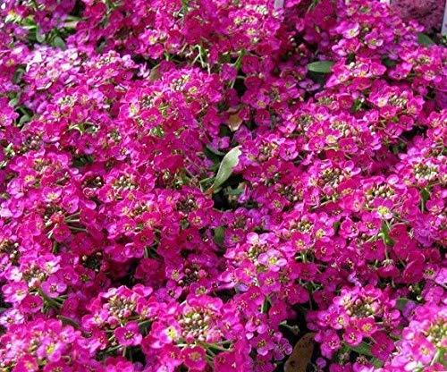 ScoutSeed Mix Colors SWEET ALYSSUM Duftende Bodendecker Rosa Weiß Lila Rose 200 Samen