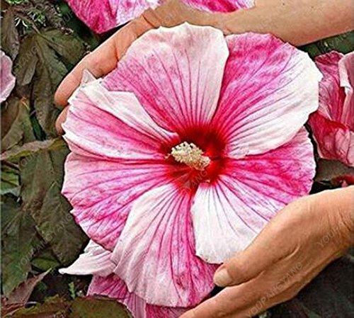 100 Pcs Hibiscus Graines de fleurs magnifiques bonsaïs géant Hibiscus graines vivaces Graines de fleurs pour jardin Plante en pot Violet