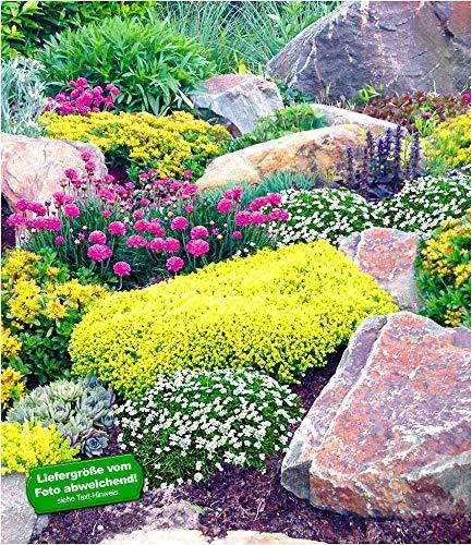 """BALDUR-Garten Steingarten-Mix""""Happy Flowers"""", 4 Pflanzen Grasnelke pink, Polstermoos weiß, Sedum Weihenstephan gelb und Sedum Acre"""