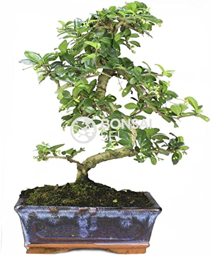 Bonsai - Carmona, 8 Años (Bonsai Sei - Carmona Microphylla)