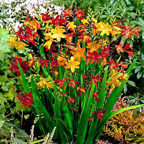 50x Crocosmia bulbi | Piante Montbretia resistenti | Bulbi a fioritura estiva | Fiori da Balcone e Giardino | 6-8 cm