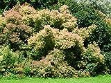 Perückenstrauch Cotinus coggygria Pflanze 15-20cm Perückenbaum Fisettholz Sumach