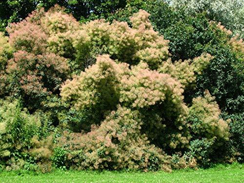 Perückenstrauch Cotinus coggygria Pflanze 55-60cm Perückenbaum Fisettholz Sumach