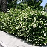 Ligustrum japonicum (Ligustro) [Vaso Ø18cm]
