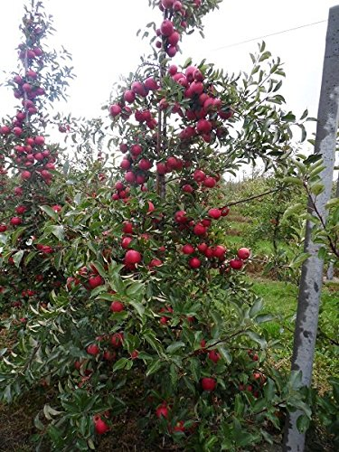 Apfelbaum - Sorte Malus domestica Jonagold - 60-80cm Topf 2 Ltr.