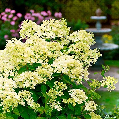 Rispenhortensie Bombshell cremeweiß - Hortensie winterhart & mehrjährig - Hydrangea paniculata - 1 Pflanze von Garten Schlüter - Pflanzen in Top Qualität