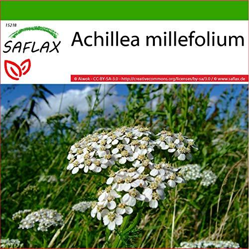 SAFLAX - Achillea millefoglie - 200 semi - Con substrato - Achillea millefolium
