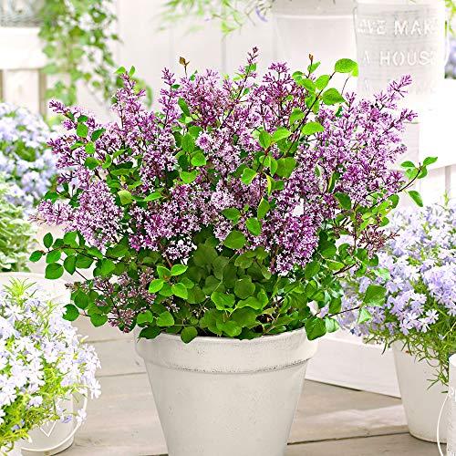 Syringa vulgaris'Dark Purple' |...