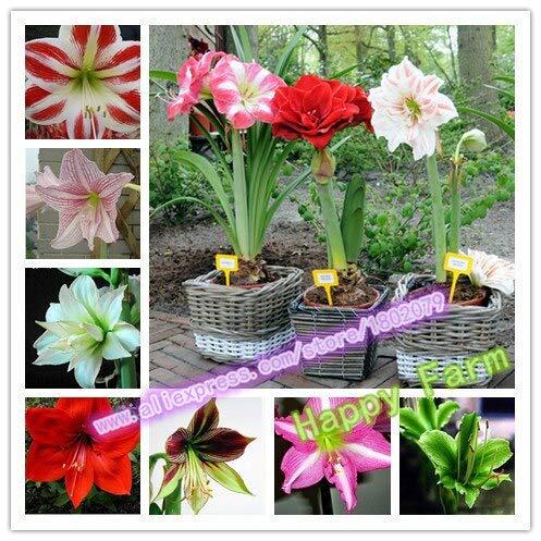 Mix: Günstige Amaryllis Samen, Barbados Lilie Topf Samen, Bonsai Balkon Blumensamen Für Hausgarten-100 Teile/beutel