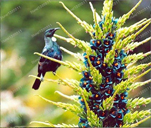 2016 nueva bromelia gigante, 50pcs semillas raras bromelia, flores de color turquesa...
