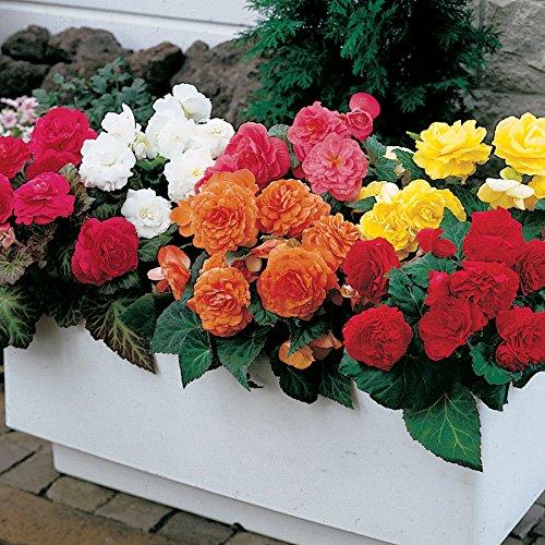 Livraison gratuite 100 Pcs rares Graines Begonia hybrida Voss lanternes Fleurs Begonia Graines Fleurs décoratives Bonsai Chinese Garden 19