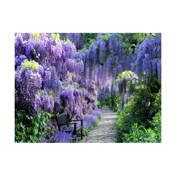 Blue Moon Wisteria Vine – Fragrant Foot Long Flowers – ATTRACTS Hummingbirds – 2 – Year Plant