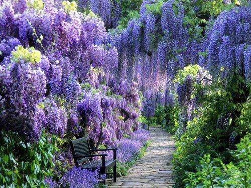 Blue Moon Wisteria Vine - Fragrant Foot Long Flowers - ATTRACTS Hummingbirds - 2 - Year Live Plant