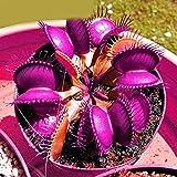 Kisshes Giardino - 50 Pezzi Rare multicolore Venus Flytrap Seeds Dionaea muscipula Piante ...