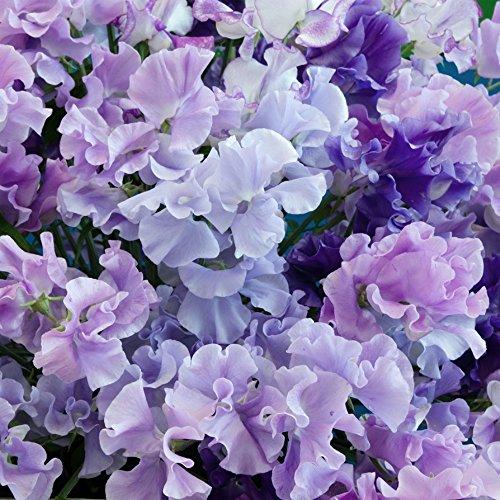 Bleu Graines de pois de senteur - Gesse odorante