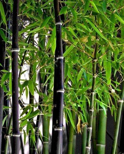 Rares graines fraîches de bambou noir Phyllostachys Nigra 200 pcs navires de Etats-Unis