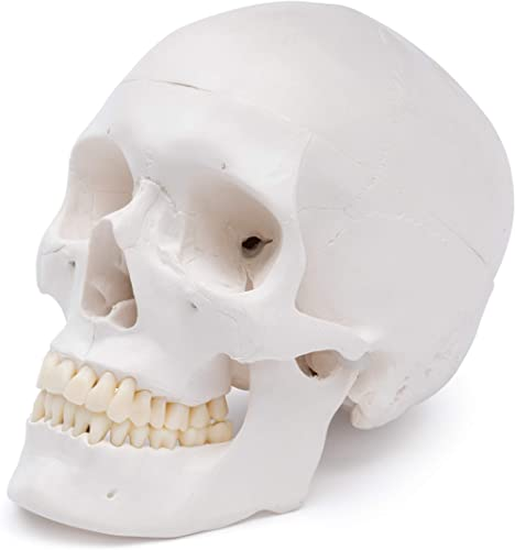 Cranstein A-240 Crâne humain - modèle pour l'anatomie de l'enseignement